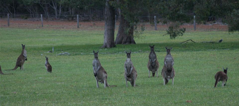 Kangaroos-