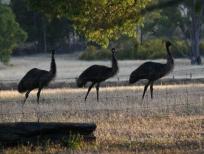 emus-medium